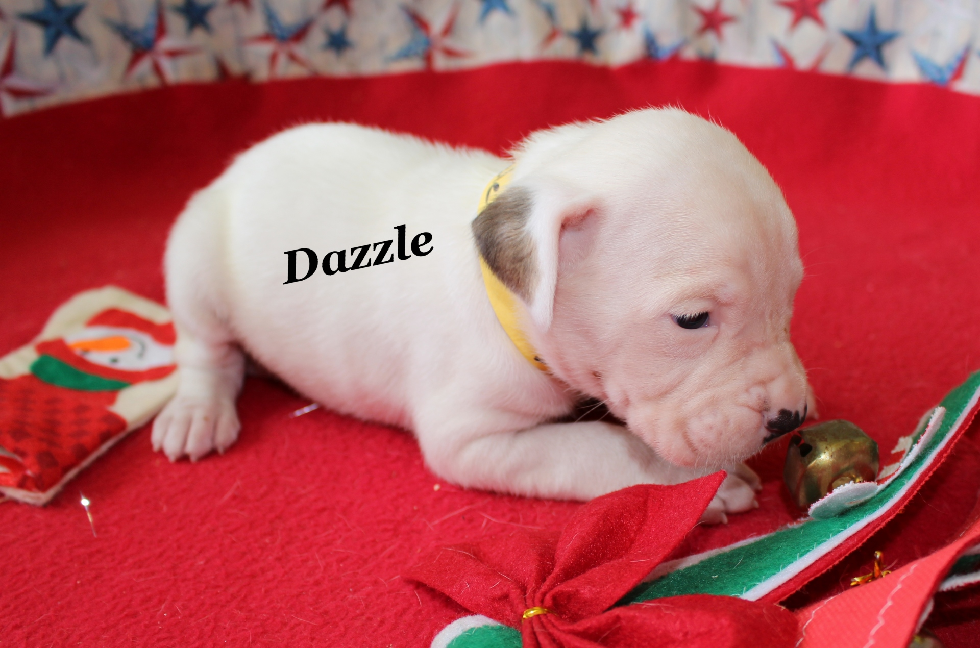American Bulldog Puppies Perfect Christmas Gift