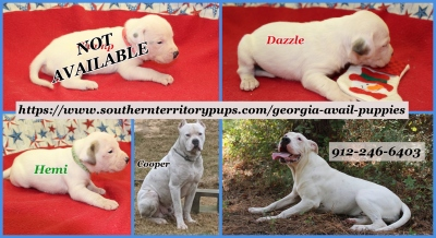 American Bulldog Puppies -  Going FAST !!!