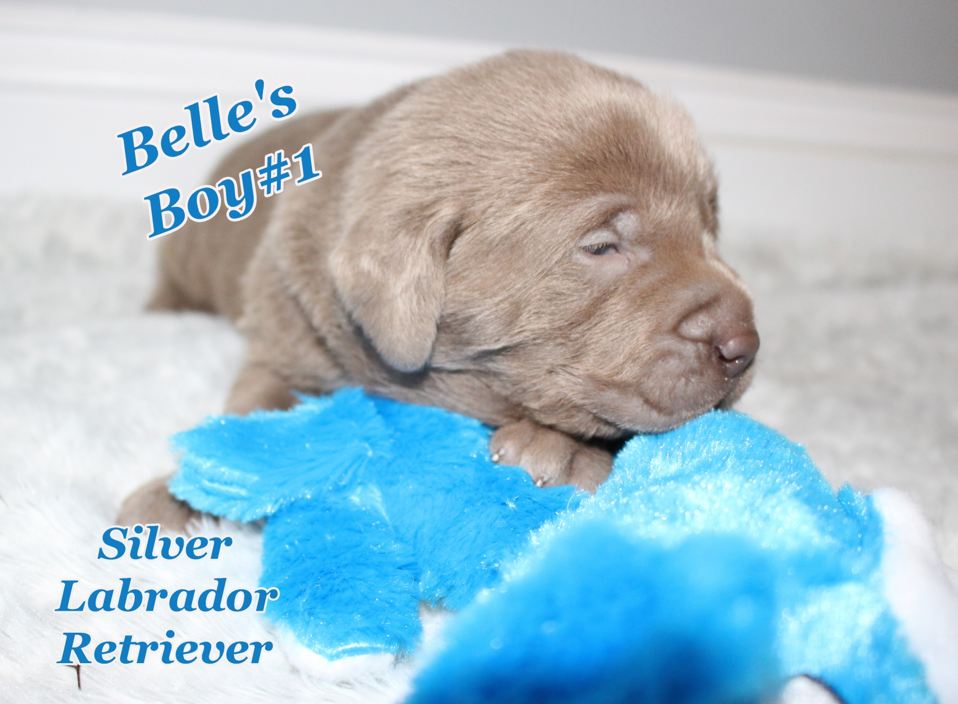 Silver Labrador Retriever Puppies